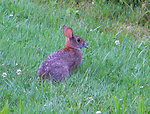 Photo of the Week - New England cottontail