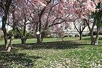 Magnolia 'Shower' of Blooms