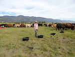 Livestock for Landscapes training - cows eat weeds!