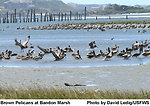 Brown Pelicans in Tidal Salt Marsh
