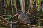 Virginia Rail (Rallus limicola) Lower Pool Marshbird Survey 05 May 2012