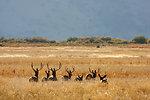 mule deer bucks at Malheur Refuge