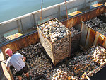 Clam Harvest: Testing at Sea