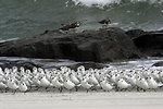 Sanderlings and Ruddy Turnstones