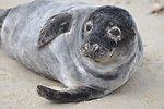 Gray seal