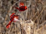 Photo of the Week - Two Male Cardinals