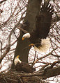 Bald eagle at its nest