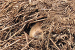 Sleeping muskrat Lacreek National Wildlife Refuge