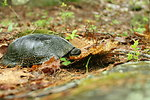 Blanding's turtle at New Boston Air Force Base