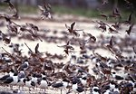 Red Knots and Laughing Gulls