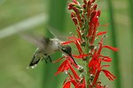 Ruby-throated Hummingbird at Cardinal Flower