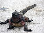 Salt water iguana close up