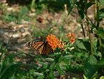 Monarch on Butterflyweed