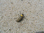 Northeastern Beach Tiger Beetle