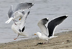 Photo of the Week - Gulls fighting over crab (RI)