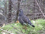 Male spruce grouse at Conte National Fish and Wildlife Refuge