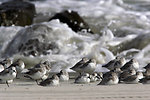 Photo of the Week - Sanderlings at Stone Harbor, NJ