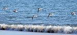Shorebirds at Parker River National Wildlife Refuge