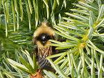Bee on Spruce
