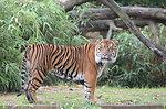 Tiger at National Zoo Frank Kohn USFWS