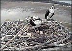 Osprey cam at Blackwater