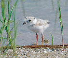 Piping plover at Chincoteague National Wildlife (VA)