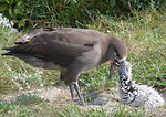 black-footed albatross feeds chick