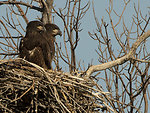 Successful Eagle Nest