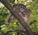 Pair of Northern Spotted Owls