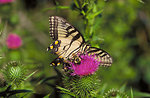 swallowtail butterfly and bee on thistle