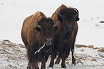 Toothpick, Bison Style