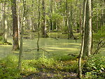 Blackwater National Wildlife Refuge - flooded woods