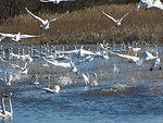 Flock of swans at Lake Mattamuskeet