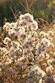 False Boneset (Kuhnia eupatorioides) on Mixed Grass Prairie of Lacreek NWR