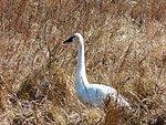 Swan at Mattamuskeet National Wildlife Refuge
