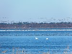 Snow geese and more on the lake