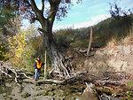 Erosion exposes tree roots on Sacramento River levee