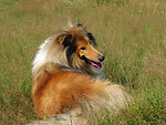 Rough collie dog
