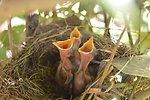 Birds in a nest