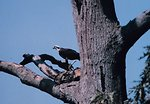 Profile view of an osprey perched in a dead tree.