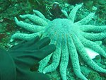 July 26, 2012 Elwha Dam Removal, diver's hand next to a Sunflower star