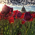 Sunrise and tulips at the Capitol