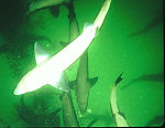 Sharks visit EPA dive site in Alaska