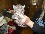 Rescued Bobcat Kitten