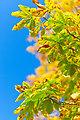 Autumn horse chestnut tree