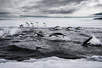 Adelie Penguins Explode From the Water