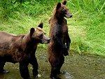 Hyder bear7cub