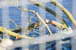 Beavers sample American River habitat