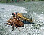 Cicada photo1a