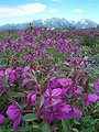 CU flowers-mountain BG